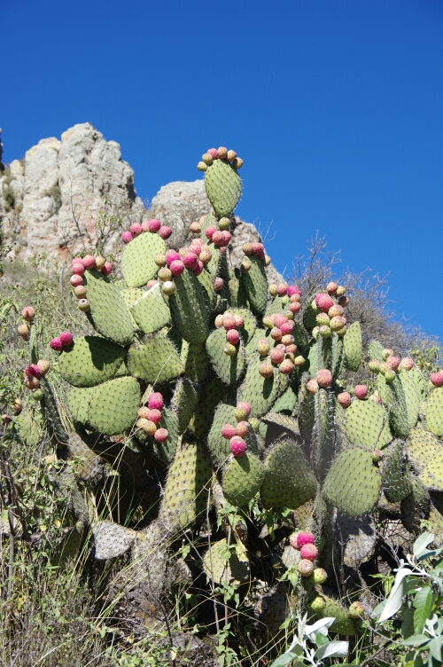 Prickly Pear cactus with edible fruits