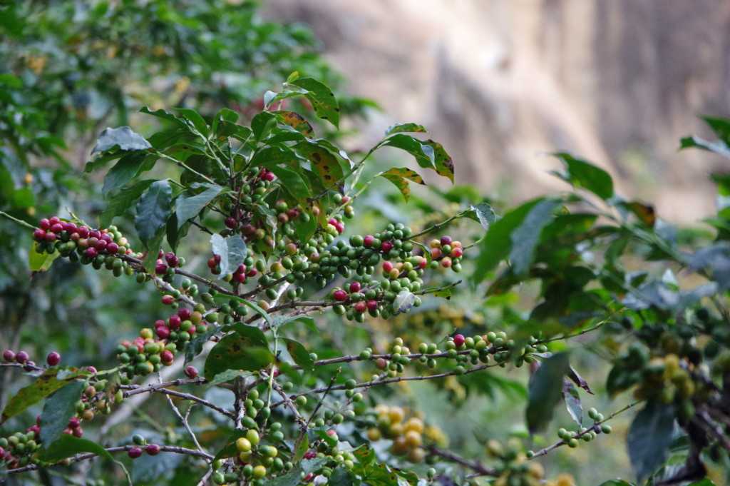 Coffee plants along the way