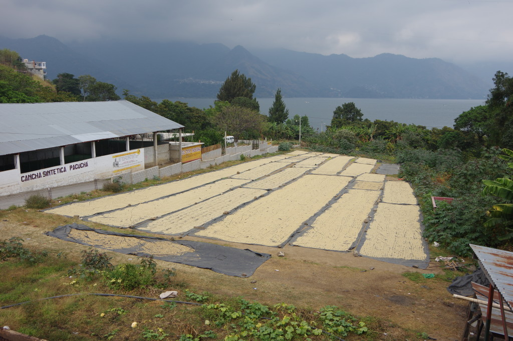 Sun-drying coffee beans