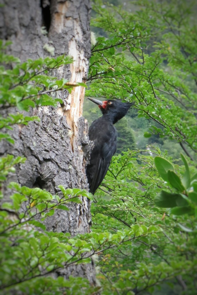A female Magellanic Woodpecker we observed along the trail after Dickson camp.