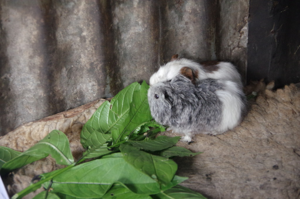 Guinea pig living in the coffee farmer's hut