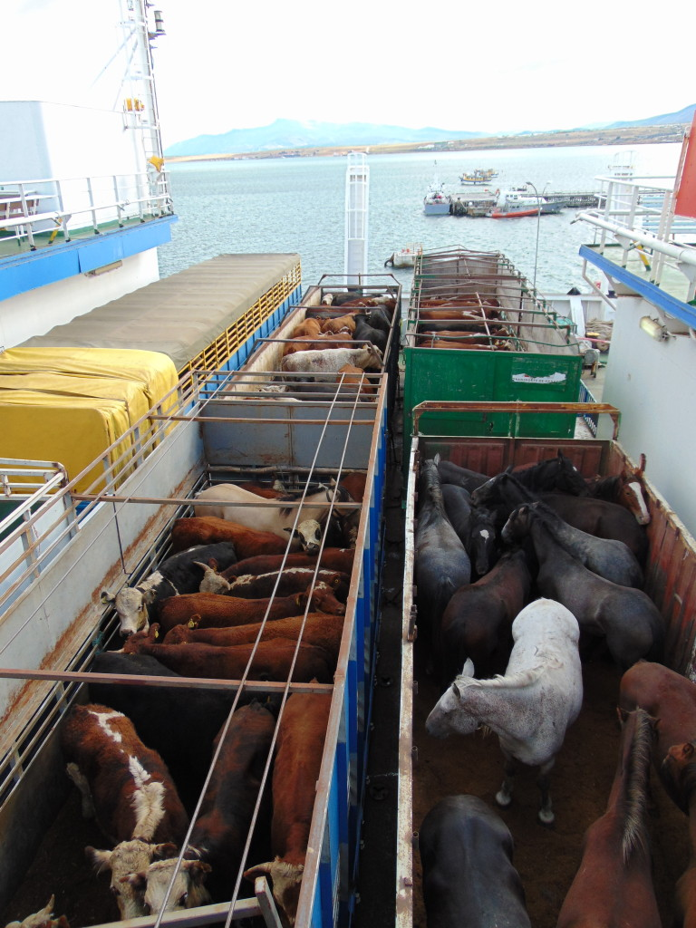 Live animals being transported on the ferry